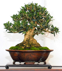 olive bonsai tree2 Olive Bonsai Tree