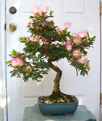 pink powderpuff bonsai1 Pink Powderpuff Bonsai Tree