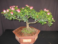 pink powderpuff bonsai3 Pink Powderpuff Bonsai Tree