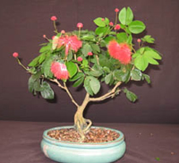 pink powderpuff bonsai6 Pink Powderpuff Bonsai Tree