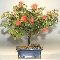 pink powderpuff bonsai8 Pink Powderpuff Bonsai Tree