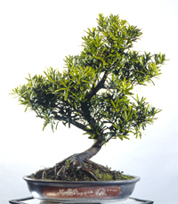 podocarpus bonsai1 Podocarpus Bonsai Tree