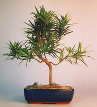 podocarpus bonsai tree7 Podocarpus Bonsai Tree