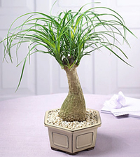 ponytail palm bonsai1 Ponytail Palm Bonsai Tree