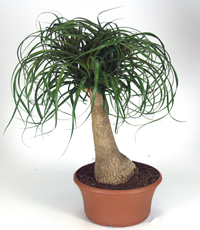 ponytail palm bonsai2 Ponytail Palm Bonsai Tree