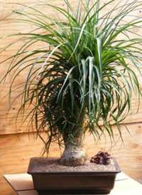 ponytail palm bonsai3 Ponytail Palm Bonsai Tree