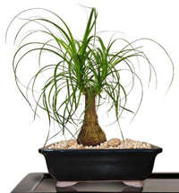 ponytail palm bonsai4 Ponytail Palm Bonsai Tree