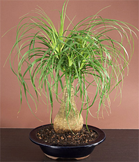 ponytail palm bonsai6 Ponytail Palm Bonsai Tree
