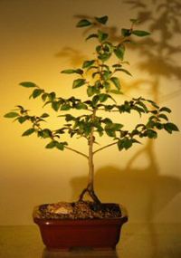 river birch bonsai1 River Birch Bonsai Tree