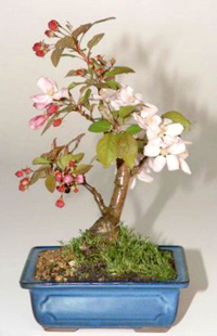 sargent crabapple bonsai1 Sargent Crabapple Bonsai Tree