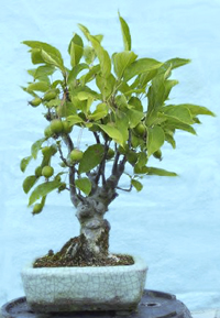 sargent crabapple bonsai2 Sargent Crabapple Bonsai Tree
