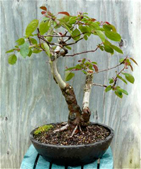 sargent crabapple bonsai3 Sargent Crabapple Bonsai Tree