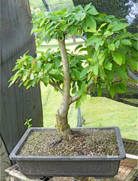 sargent crabapple bonsai4 Sargent Crabapple Bonsai Tree