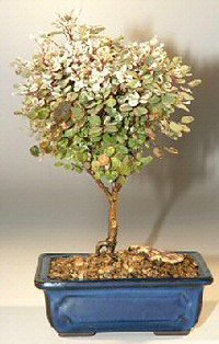 snowbush bonsai1 Snowbush Bonsai Tree