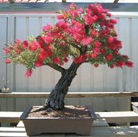 stiff bottlebrush bonsai1 Stiff Bottlebrush Bonsai Tree