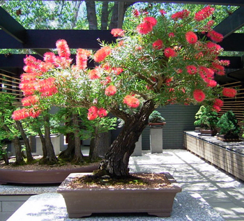 stiff bottlebrush bonsai5 Stiff Bottlebrush Bonsai Tree