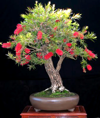 stiff bottlebrush bonsai6 Stiff Bottlebrush Bonsai Tree