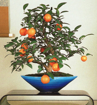 sweet orange bonsai3 Sweet Orange Bonsai Tree