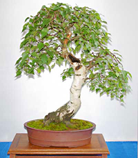 white birch bonsai1 European White Birch Bonsai Tree