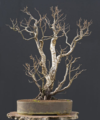 white birch bonsai2 European White Birch Bonsai Tree