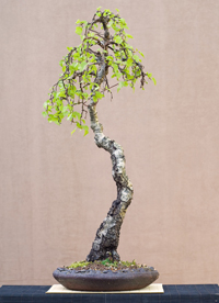 white birch bonsai3 European White Birch Bonsai Tree