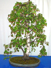 white birch bonsai4 European White Birch Bonsai Tree