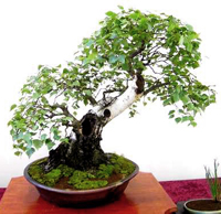 white birch bonsai5 European White Birch Bonsai Tree