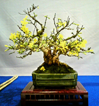 winter jasmine bonsai1 Winter Jasmine Bonsai Tree