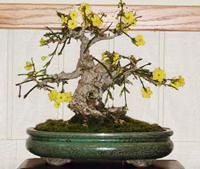 winter jasmine bonsai2 Winter Jasmine Bonsai Tree