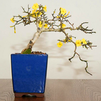 winter jasmine bonsai3 Winter Jasmine Bonsai Tree