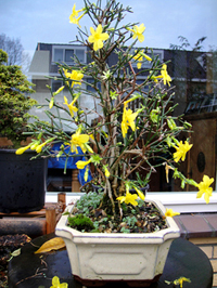 winter jasmine bonsai41 Winter Jasmine Bonsai Tree