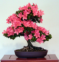 azalea bonsai tree1 Satsuki Azalea Bonsai Tree
