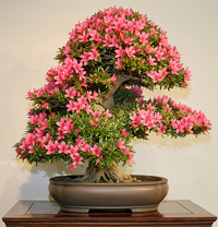 azalea bonsai tree2 Satsuki Azalea Bonsai Tree