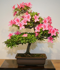 azalea bonsai tree3 Satsuki Azalea Bonsai Tree