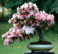 azalea bonsai tree6 Satsuki Azalea Bonsai Tree