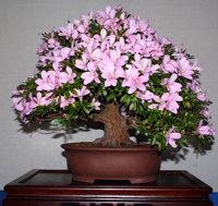 azalea bonsai tree7 Satsuki Azalea Bonsai Tree