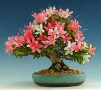 azalea bonsai tree8 Satsuki Azalea Bonsai Tree