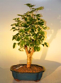 balfour aralia bonsai1 Balfour Aralia Bonsai Tree