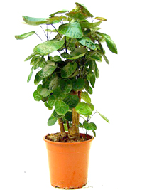 balfour aralia bonsai6 Balfour Aralia Bonsai Tree