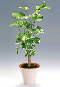 balfour aralia bonsai7 Balfour Aralia Bonsai Tree