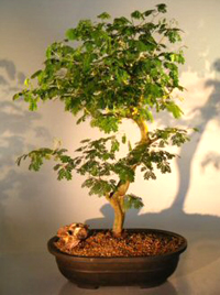 brazilian raintree bonsai3 Brazilian Rain Tree Bonsai 