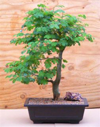 brazilian raintree bonsai4 Brazilian Rain Tree Bonsai 