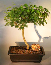 brazilian raintree bonsai5 Brazilian Rain Tree Bonsai 