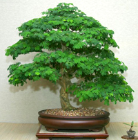 brazilian raintree bonsai6 Brazilian Rain Tree Bonsai 