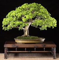 brazilian raintree bonsai7 Brazilian Rain Tree Bonsai 