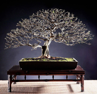 brazilian raintree bonsai8 Brazilian Rain Tree Bonsai 