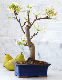 common pear bonsai1 Common Pear Bonsai Tree