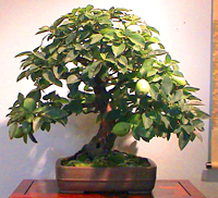 common pear bonsai2 Common Pear Bonsai Tree