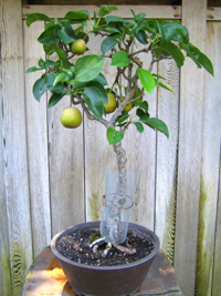 common pear bonsai5 Common Pear Bonsai Tree