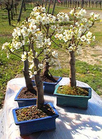 common pear bonsai6 Common Pear Bonsai Tree